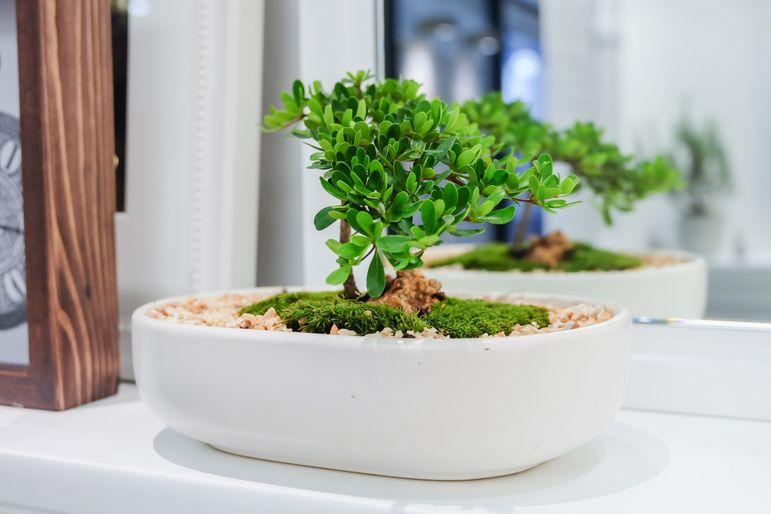 bonsai-tree-hygge