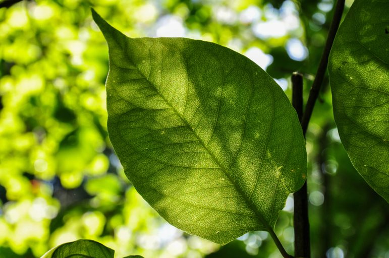 japanese-knotweed-leaf