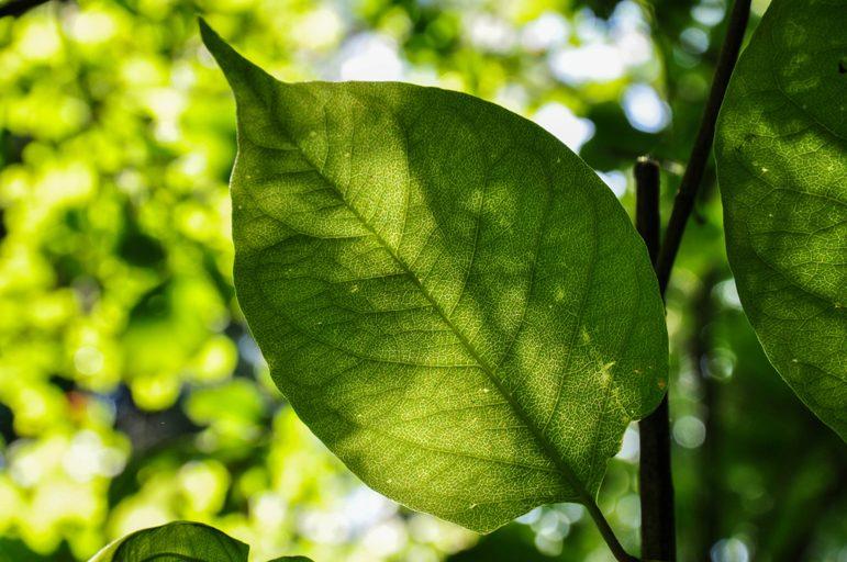 japanese-knotweed-leaf