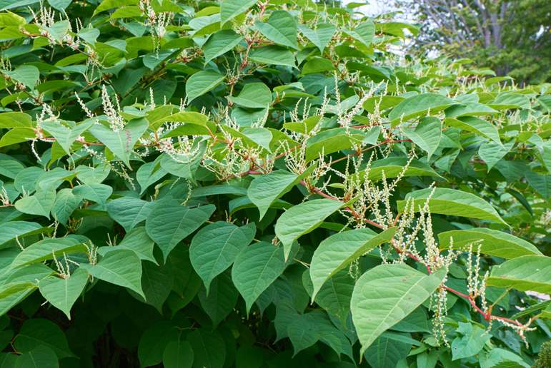 japanese-knotweed-plant